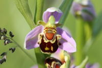 1932 Ophrys abeille