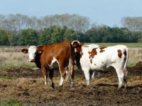 13350 Vaches normandes